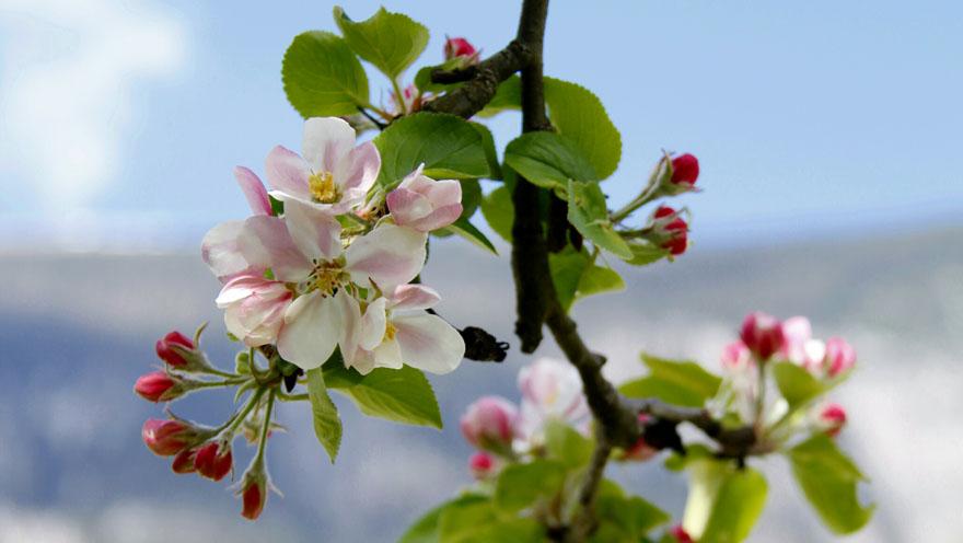 Auftanken Apfelblüte